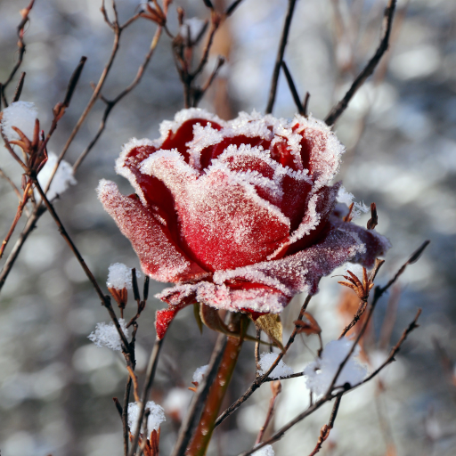 Winter Flowers Live Wallpaper Download Install Android Apps