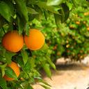 پرورش میوه در باغ