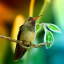 Hummingbirds Live Wallpaper