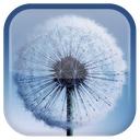 Dandelion Live Wallpaper
