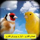 Canary Sound Singing Breeding