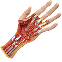Netter's Atlas Of Anatomy - Limb