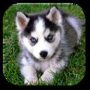 Husky Live Wallpaper