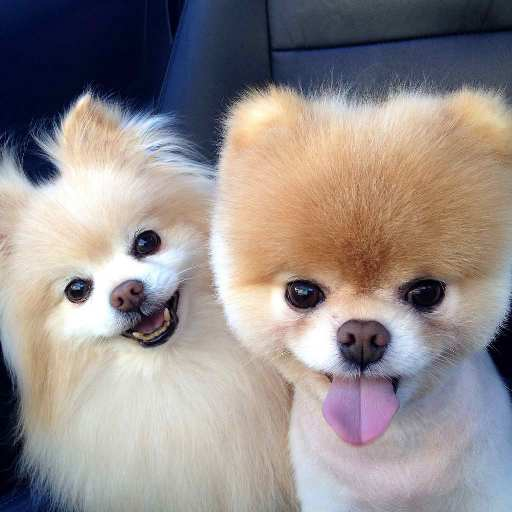 Pomeranian Dog Wallpapers HD