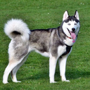 Siberian Husky Dog Wallpapers
