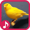 Canary breeding and breeding