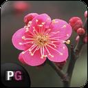 اندویر | شکوفه های بهاری
