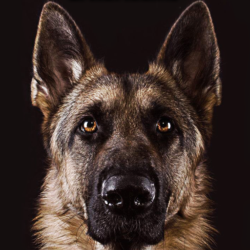 German Shepherd Wallpaper