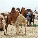 The benefits of camel milk