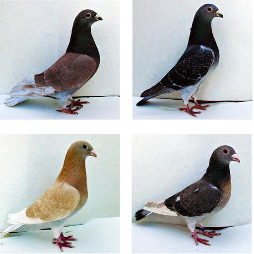 انواع کبوتر و پرورش کبوتر