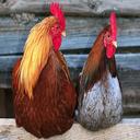 درآمد میلیونی از مرغ بومی