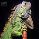 Iguana maintenance training at home