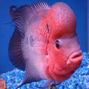 ماهی های اکواریومی آب شیرین