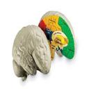 آناتومی وفیزیولوژی مغز