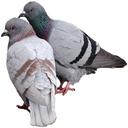 پرورش کبوتر