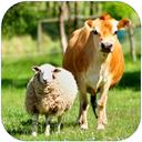 گاو و گوسفند