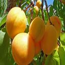 پرورش،نگهداری و تکثیر درخت میوه