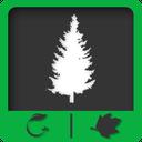 دانشنامه درخت صنوبر