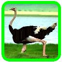 Breeding ostrich