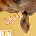 HD Giraffe Live Wallpaper