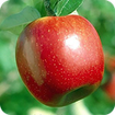 سیب درمانی