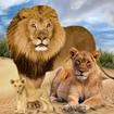 Jungle Kings Kingdom Lion Family