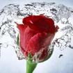Rose Wallpaper, Floral, Flower Background: Rosely