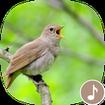 Appp.io - Nightingale bird song