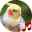 Cockatiel Sounds ~ Sboard.pro