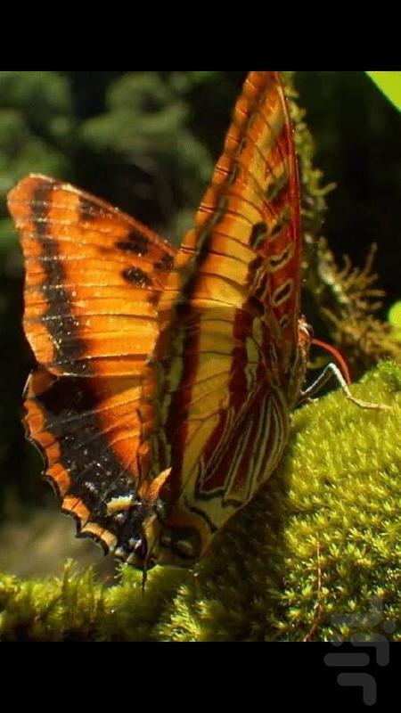 پس زمینه زنده پروانه HD Butterfly - عکس برنامه موبایلی اندروید